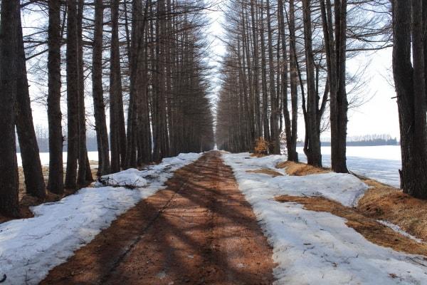 カラマツ防風林