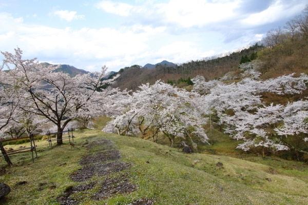 畑ケサカ桜公園1