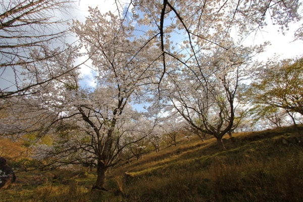 畑ケサカ桜公園2